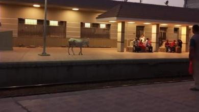 صورة مهزلة بمحطة قطار المحلة الكبرى تداول صور لحمار يتجول داخل المحطة.