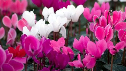 violeta-de-persia