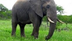 تفسير حلم الفيل في المنام للعزباء والمتزوجة والحامل