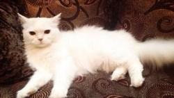 تفسير حلم القطة البيضاء في المنام للعزباء والمتزوجة والحامل