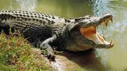 تفسير حلم تمساح صغير في المنام