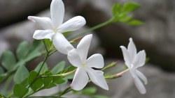 تفسير رؤية أزهار الياسمين في المنام