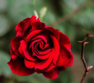تفسير حلم الورد الجوري الأحمر في المنام