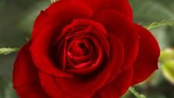 تفسر رؤية الورد الفضي في المنام