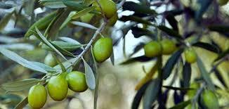 تفسير حلم أكل الزيتون في الأخضر في المنام