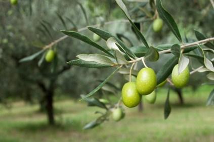 تفسير حلم الزيتون الأخضر المخلل في المنام