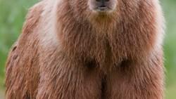 تفسير رؤية الدب الأبيض في المنام