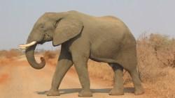 تفسير حلم تربية الفيل في المنام