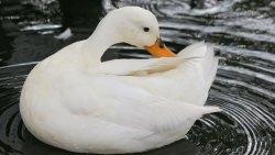 تفسير رؤية البط الأبيض في المنام