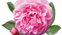 اسماء زهور نادرة بالانجليزي