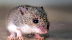 تفسير حلم مصيدة الفئران للعزباء