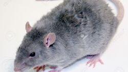 تفسير حلم الفأر الأصفر