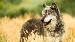 تفسير حلم الذئب للمتزوجة