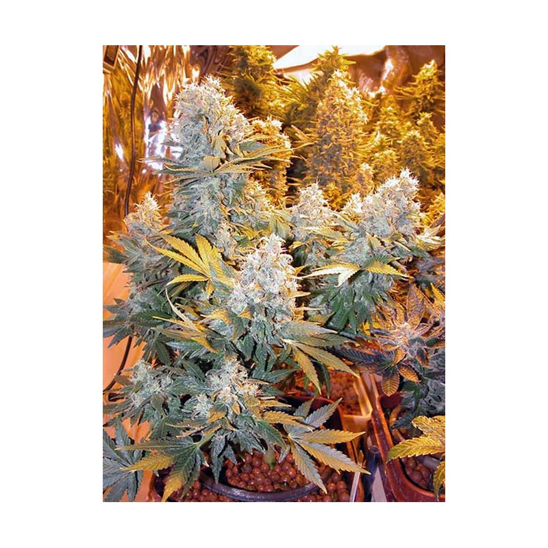 Double Dutch Serious Seeds