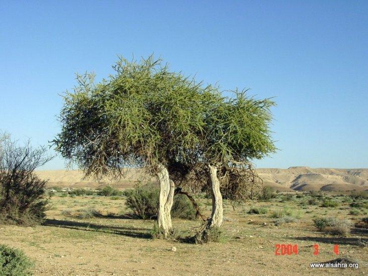 شجرة السرح