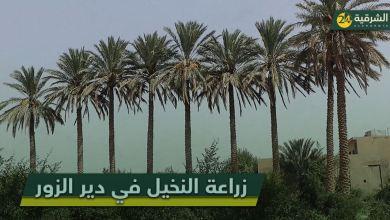 صورة يرمز النخيل عند العرب للشموخ والعطاء، كما يُجسّد أصالة أبناء المنطقة ويلخص صمودهم وسائر السوريين