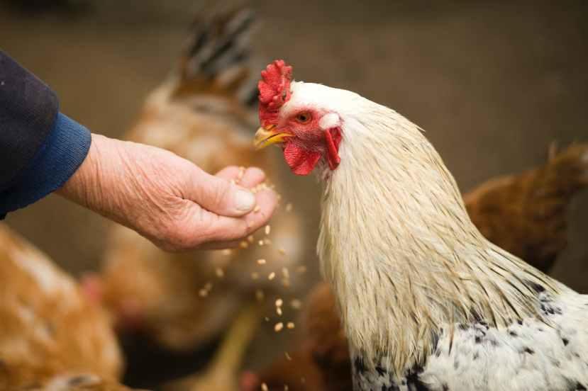 person feeding white chicken outdoor