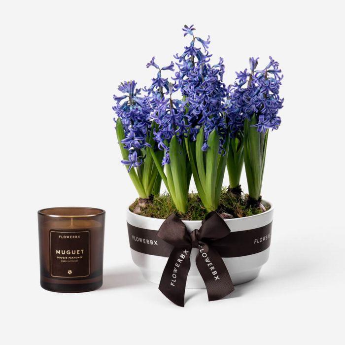 potted-bulbs-hyacinth-twilight-1000px