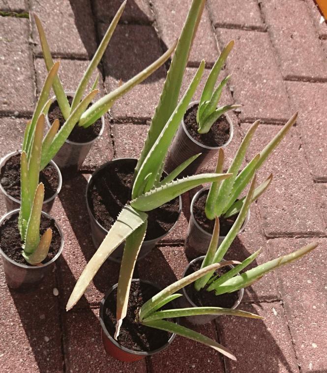 8 Aloe Vera Pflanzen