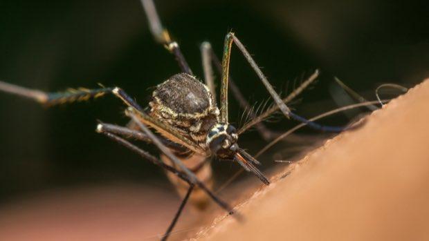 Alerta en Florida por mosquito que ahora es transmisor de enfermedad mortal que ataca el cerebro