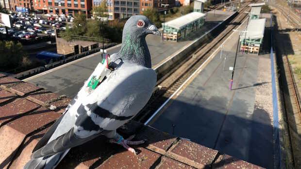 Usan palomas mensajeras para investigar el cambio climático