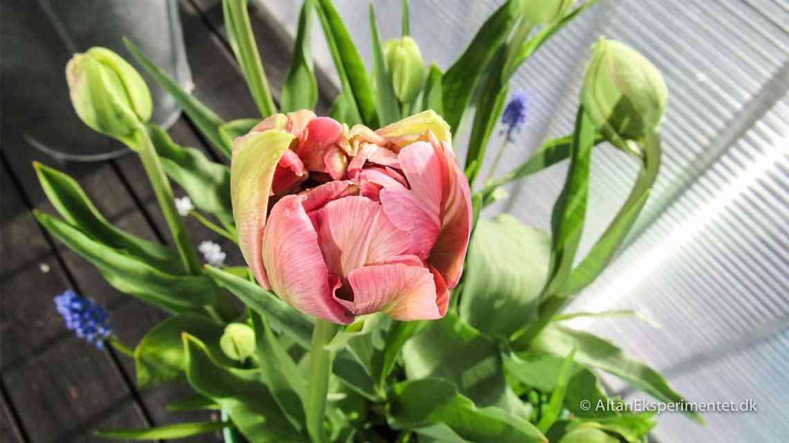 Aveyron dobbelt tulipan fra Claus Dalby