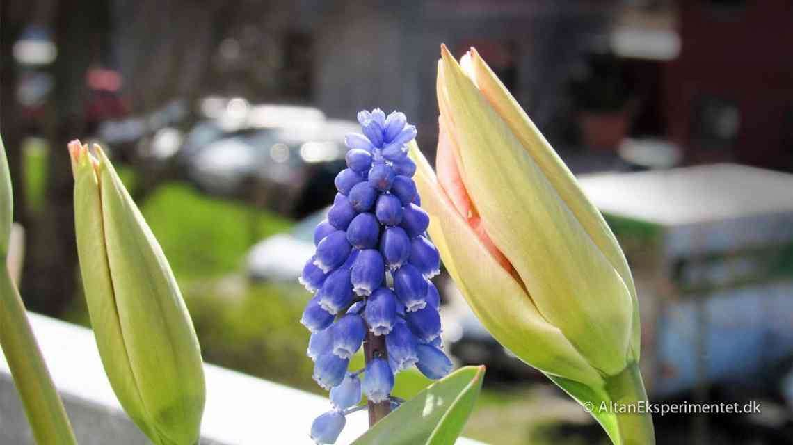 Perlehyacint og tulipaner fra Claus Dalby