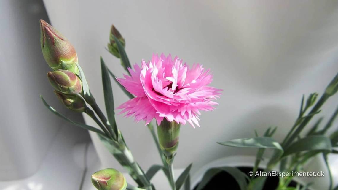 Den lille pink nellike i plantevæggen er efterkommeren af en blomst jeg plukkede sidste år. Jeg satte den i fugtig jord og siden slog den rødder og blev sin helt egen plante.