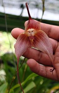 Weird Flowers - 1. Monkey Face Orchid (Dracula simia)