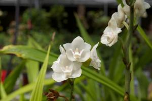 Weird Flowers - 18. Dove Orchid Or Holy Ghost Orchid (Peristeria elata)