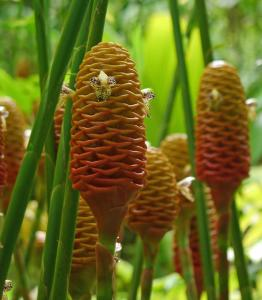 Weird Flowers - 32. Beehive Ginger (Zingiber spectabile)