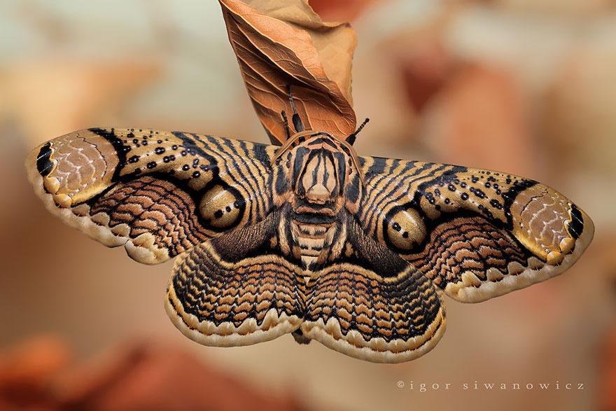 Caterpillar Moth Butterfly Before After Metamorphosis - Brahmin Moth 02