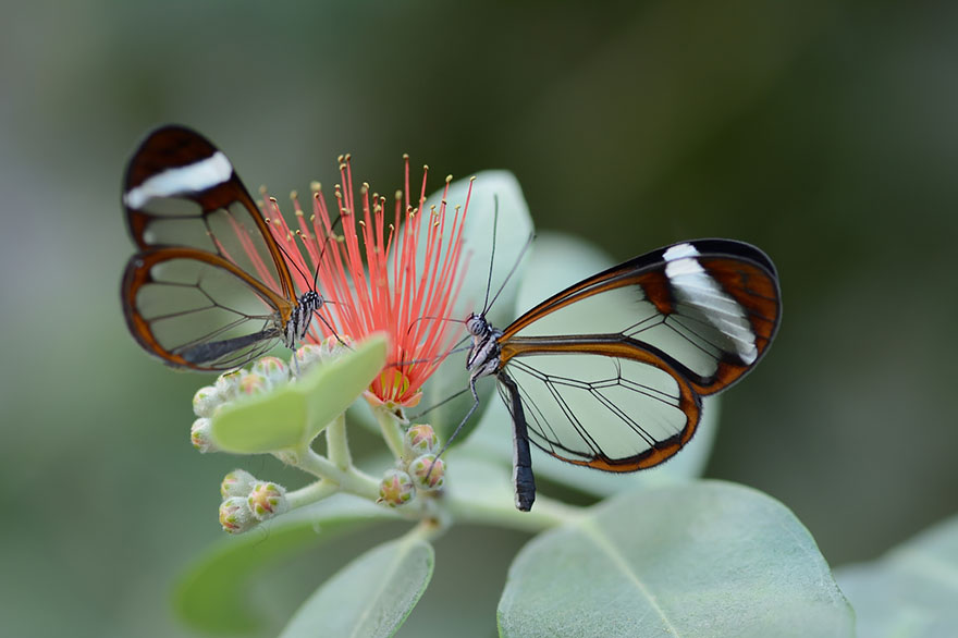 Caterpillar Moth Butterfly Before After Metamorphosis - Glass Winged Butterfly 02