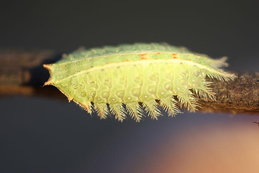 Caterpillar Moth Butterfly Before After Metamorphosis - Isa Textula 01