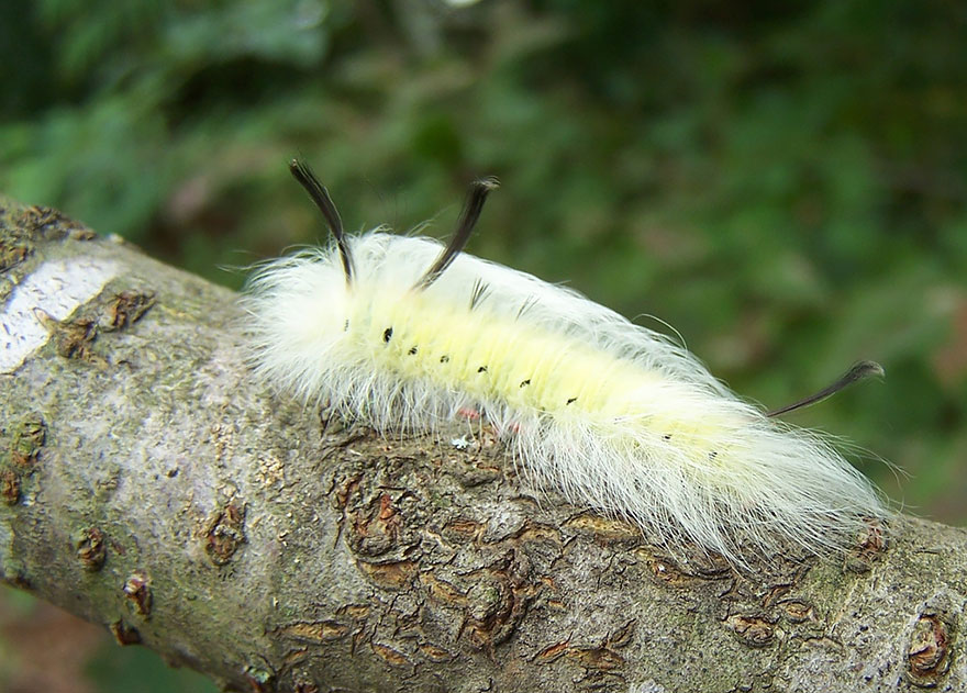 Caterpillar Moth Butterfly Before After Metamorphosis - Spotted Apatelodes 01