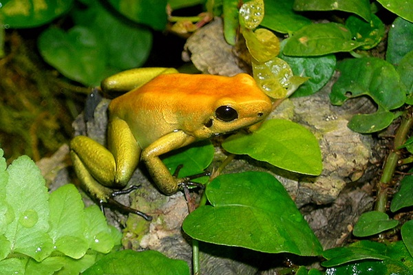 Most Poisonous Frogs In The World - Black Legged Dart Frog