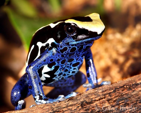 Most Poisonous Frogs in the World - Dyeing Dart Frog