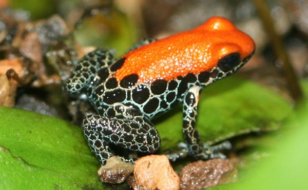 Most Poisonous Frogs in the World - Red Backed Poison Frog