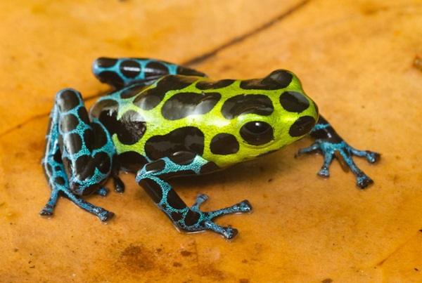 Most Poisonous Frogs in the World