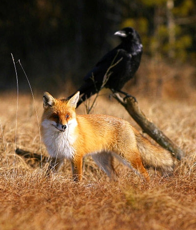 Amazing Pictures Show Raven And Red Fox Interaction