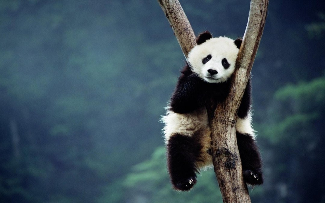 Affectionate Panda Requires a Big Hug From Her Caretaker Before She Will Come Down From a Tree