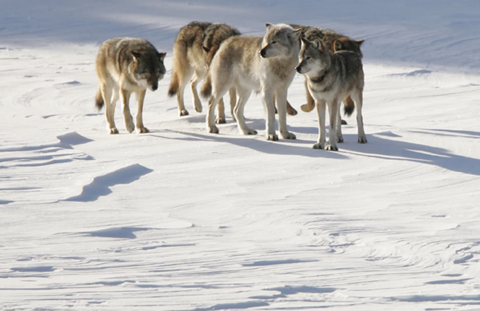 World of the Wolf – Gray wolf
