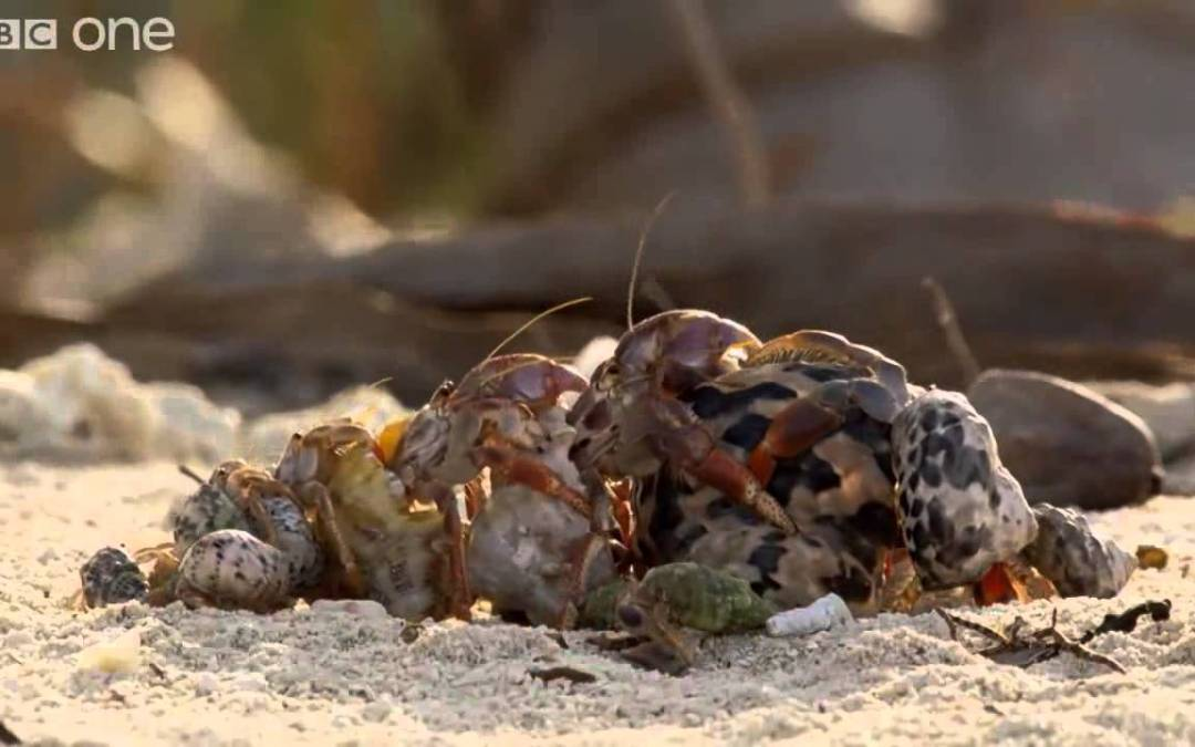 Hermit crabs line up in order of size to swap and upgrade shells with one another