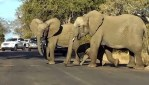 Genius Elephant Stops Traffic So Little Calf Can Safely Cross