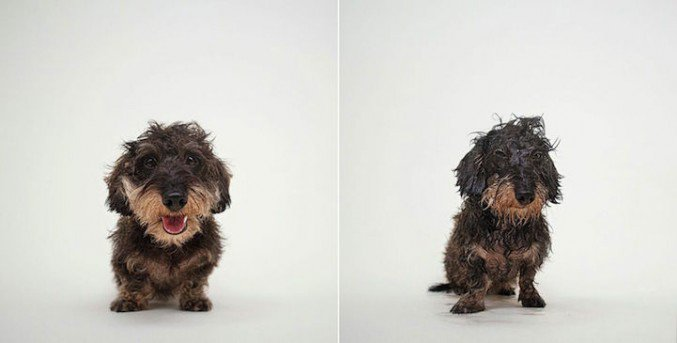 Dry Dog Wet Dog, Funny Photos Of Dogs Before And After Bath Time