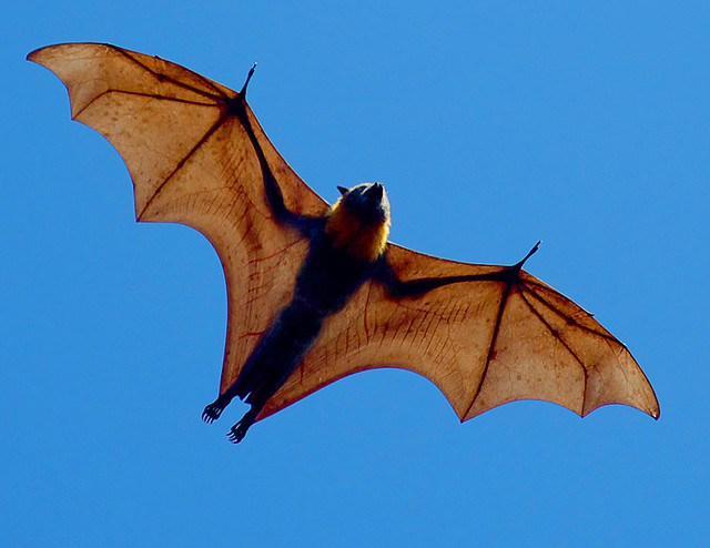 Largest bat in the world