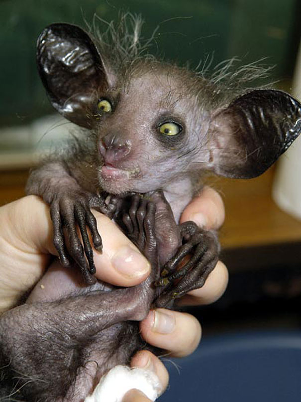 22 Strange Animals You Probably Didn't Know Exist - Aye-aye 1