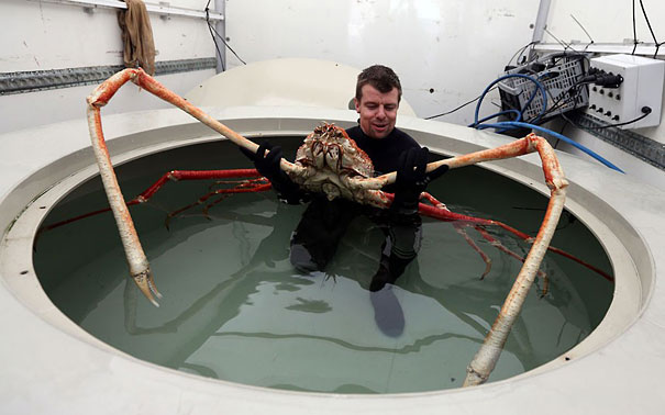 22 Strange Animals You Probably Didn't Know Exist - Japanese Spider Crab