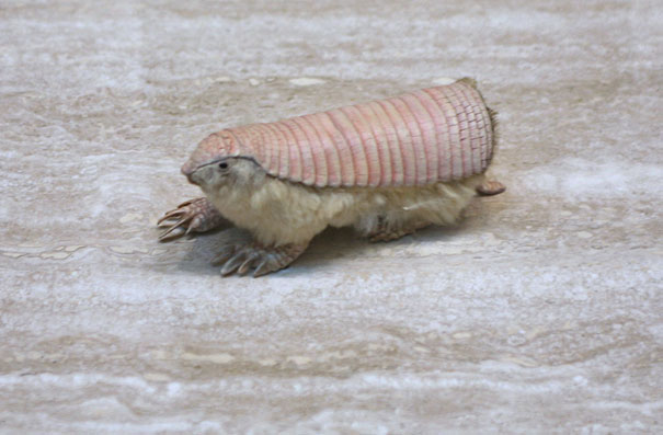 22 Strange Animals You Probably Didn't Know Exist - Pink Fairy Armadillo 1