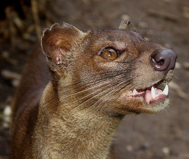 22 Strange Animals You Probably Didn't Know Exist - The Fossa 1